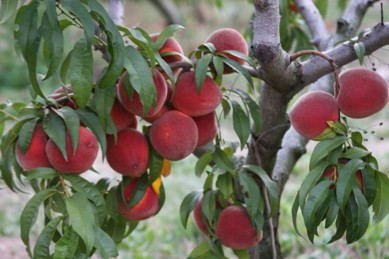 Tree ripe peaches