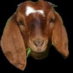 OVAL GOAT