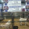 2014 NC State Fair Grand and Reserve Champion Goats