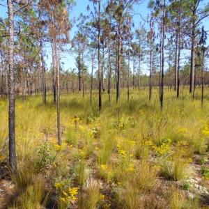longleaf forest