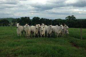 nelour cattle_Brazil