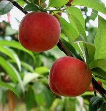 Two ripe peaches on peach tree