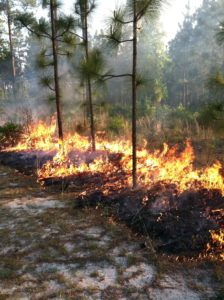 prescribed fire in longleaf stand