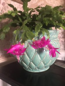 Cover photo for Christmas Cactus: A Family Holiday Tradition