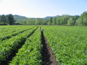 Field of Echinacea plants