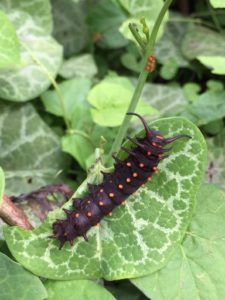 Dark brown caterpillar with orange spots feeding on leaf