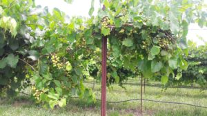 Cover photo for Grape Pest Survey - 1st Week of July