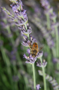 Lavender flower spike with pollinator