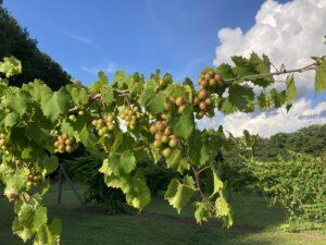 Ripening muscadine grapes at John's Farm in Mangum