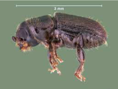 close up of southern pine beetle